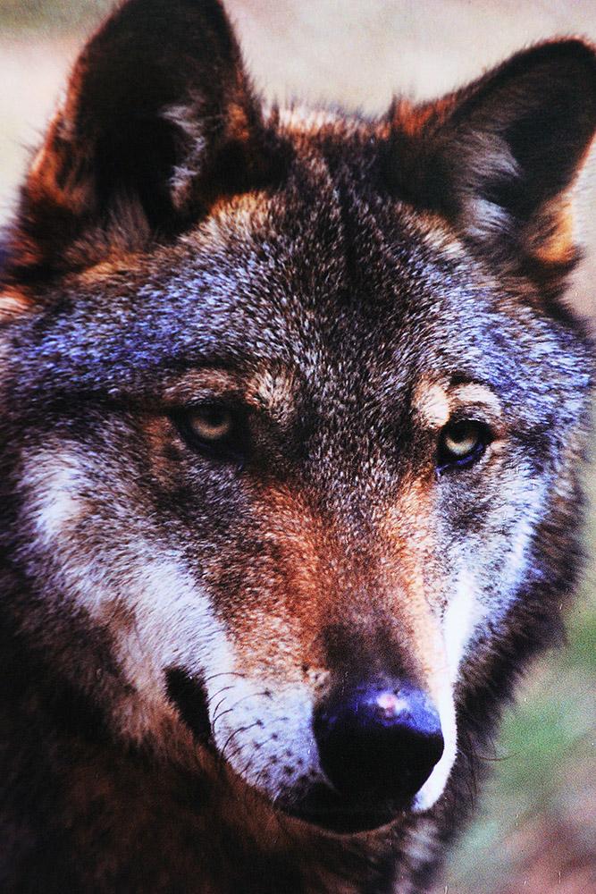 abruzzo-wolf
