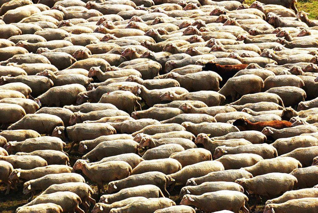 abruzzo-schapen
