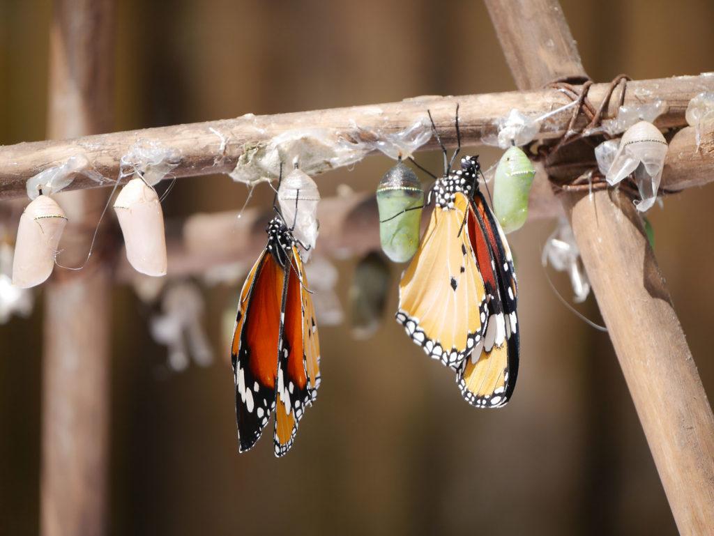 laos-luang-prabang-vlindertuin-plain-tiger-vlinder