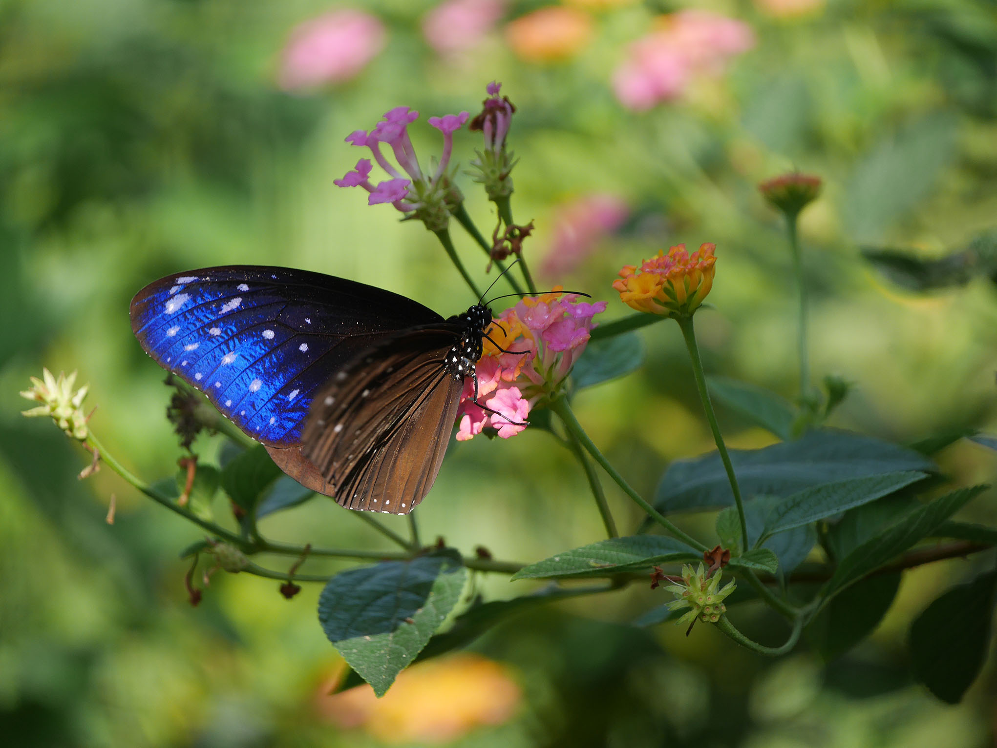 laos-luang-prabang-vlindertuin-striped-blue-crow
