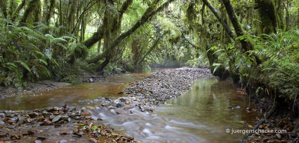 nieuw-zeeland-regenwoud