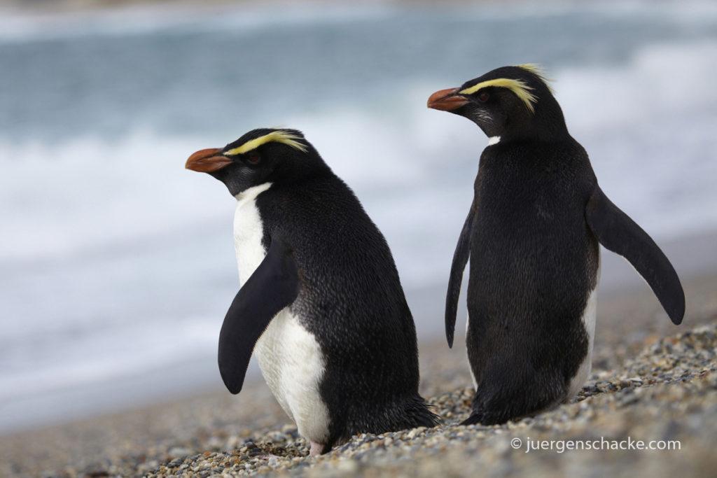 nieuw-zeeland-pinguin-pair