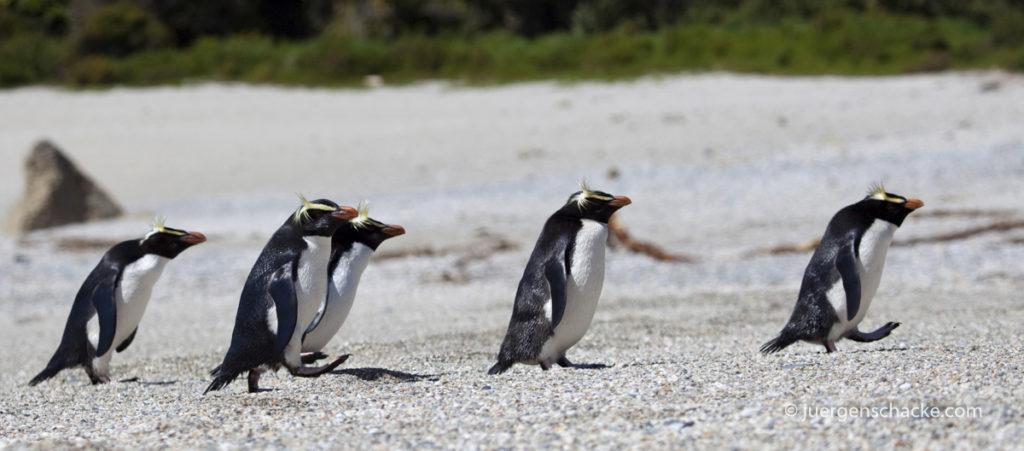 nieuw-zeeland-puinguins-walking