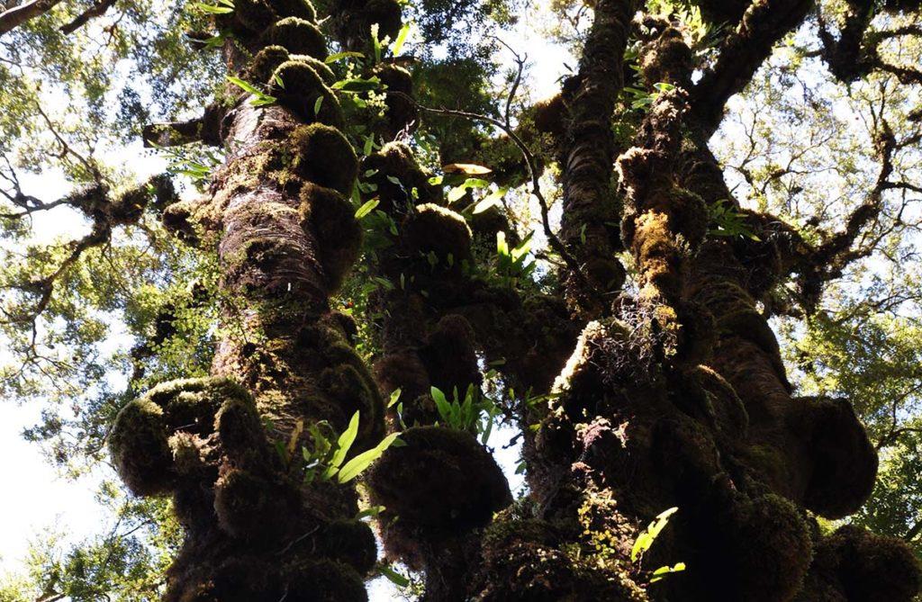 nieuw-zeeland-honeycomb-oparara-basin-bomen-mos