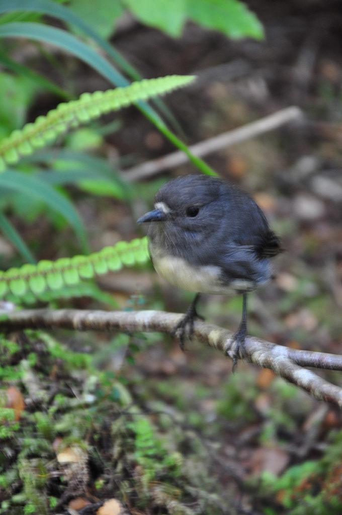 nieuw-zeeland-honeycomb-oparara-basin-bush-robin