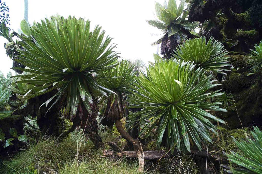 oeganda-muhavura-vulkaan-giant-lobelia