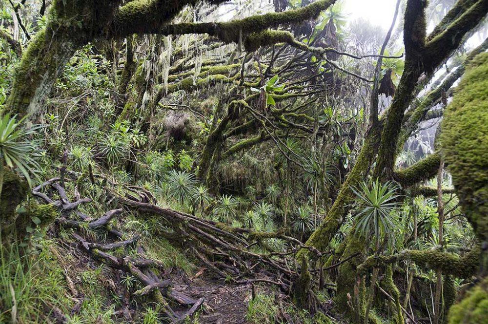 oeganda-virunga-muhavura-jungle