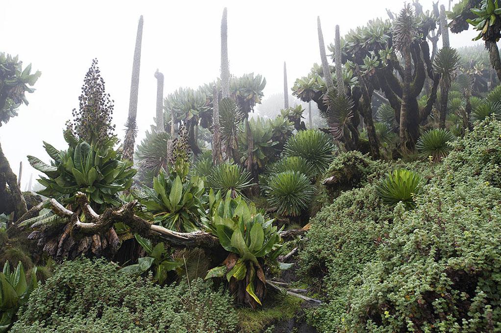 oeganda-virunga-muhavura-planten