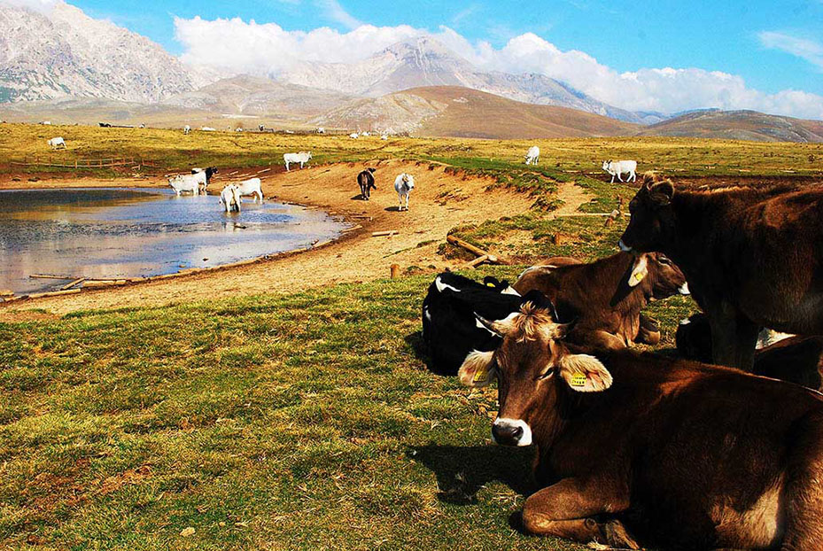 Abruzzo Gran Sasso Koeien