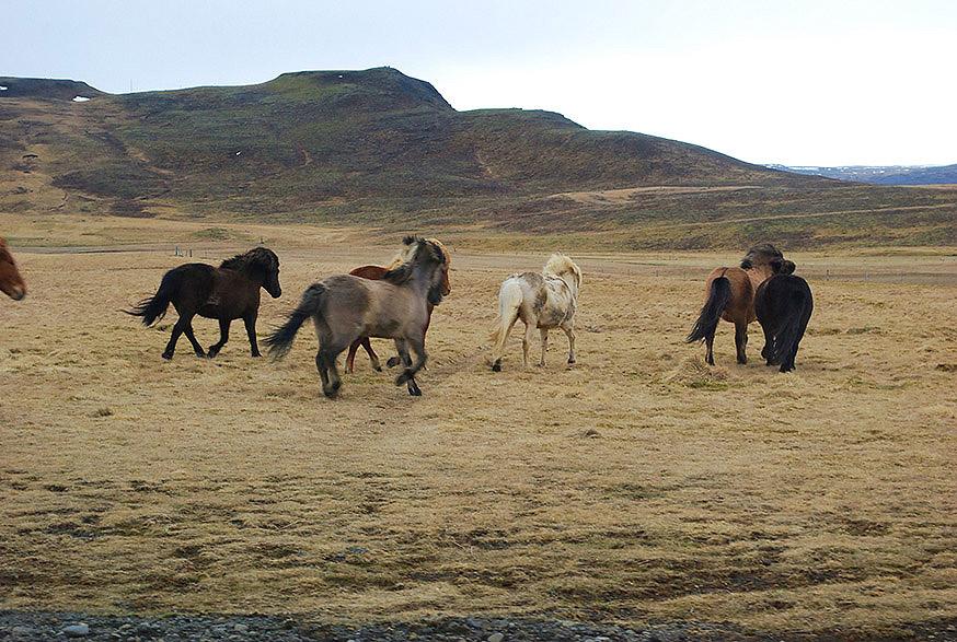 ijsland-hella-vik-ijslanders-galop