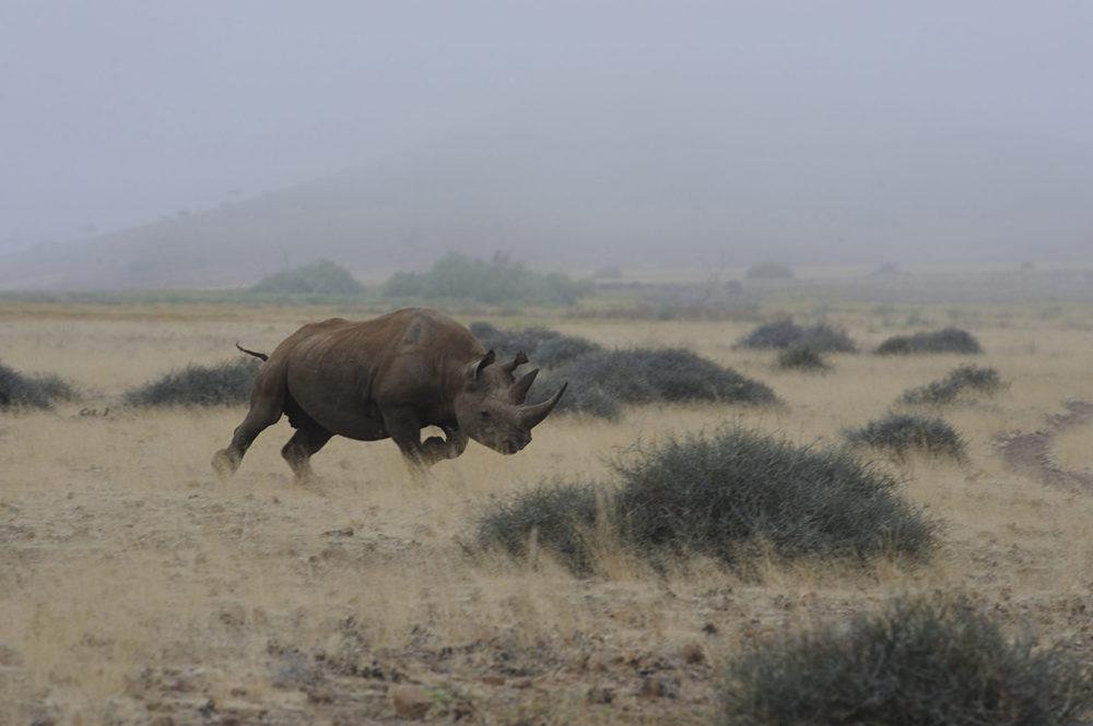 namibië-damaraland-desert-rhino-camp-zwarte-neushoorn-ben