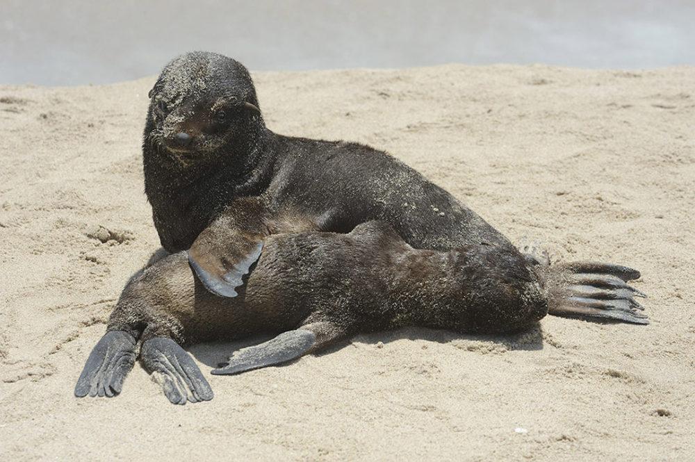 namibië-skeleton-coast-zeeleeuwenjong-slapen