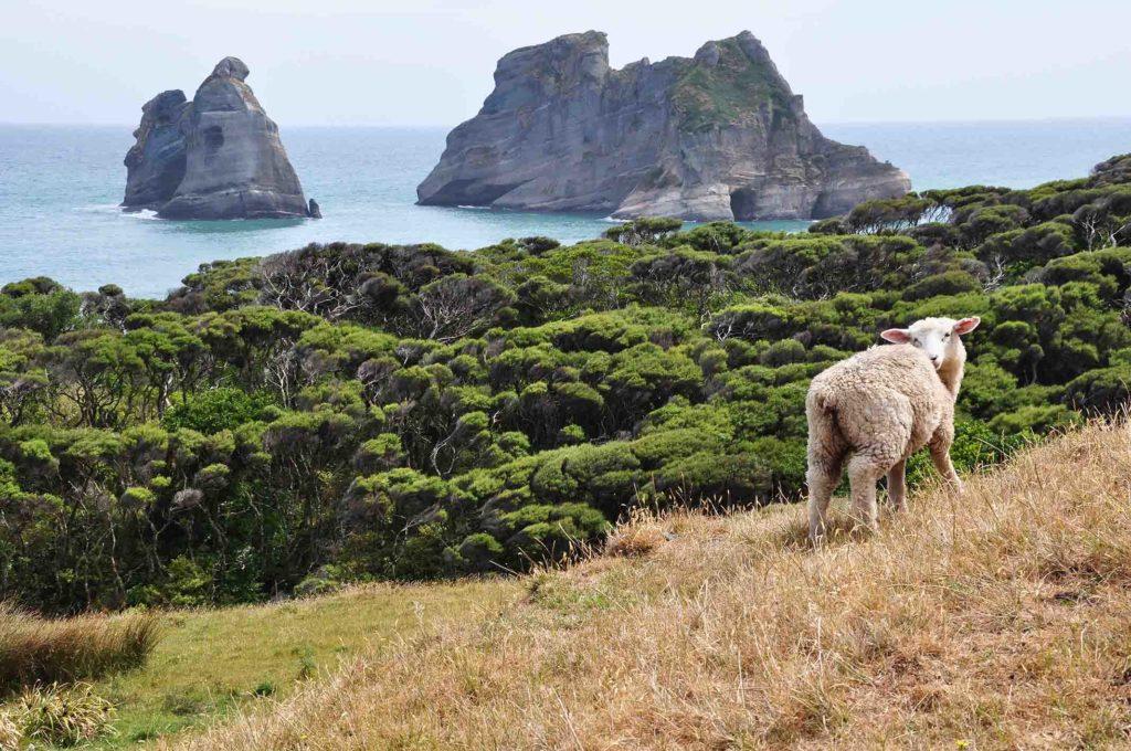 nieuw-zeeland-kust-schapen