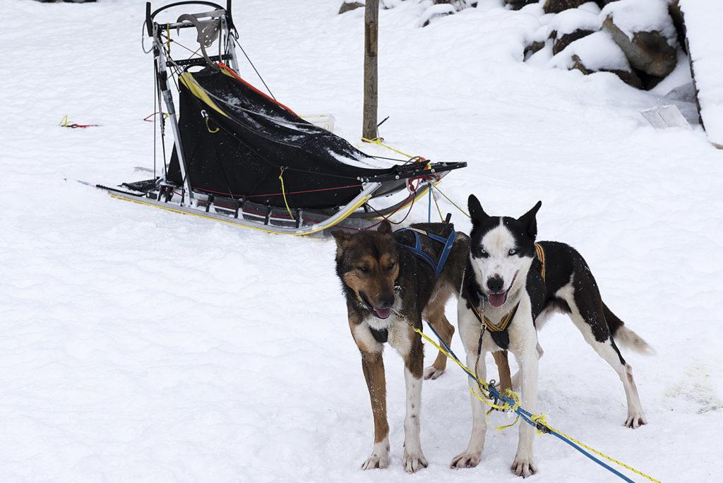 noorwegen-geilo-husky's-wachte-geduldig