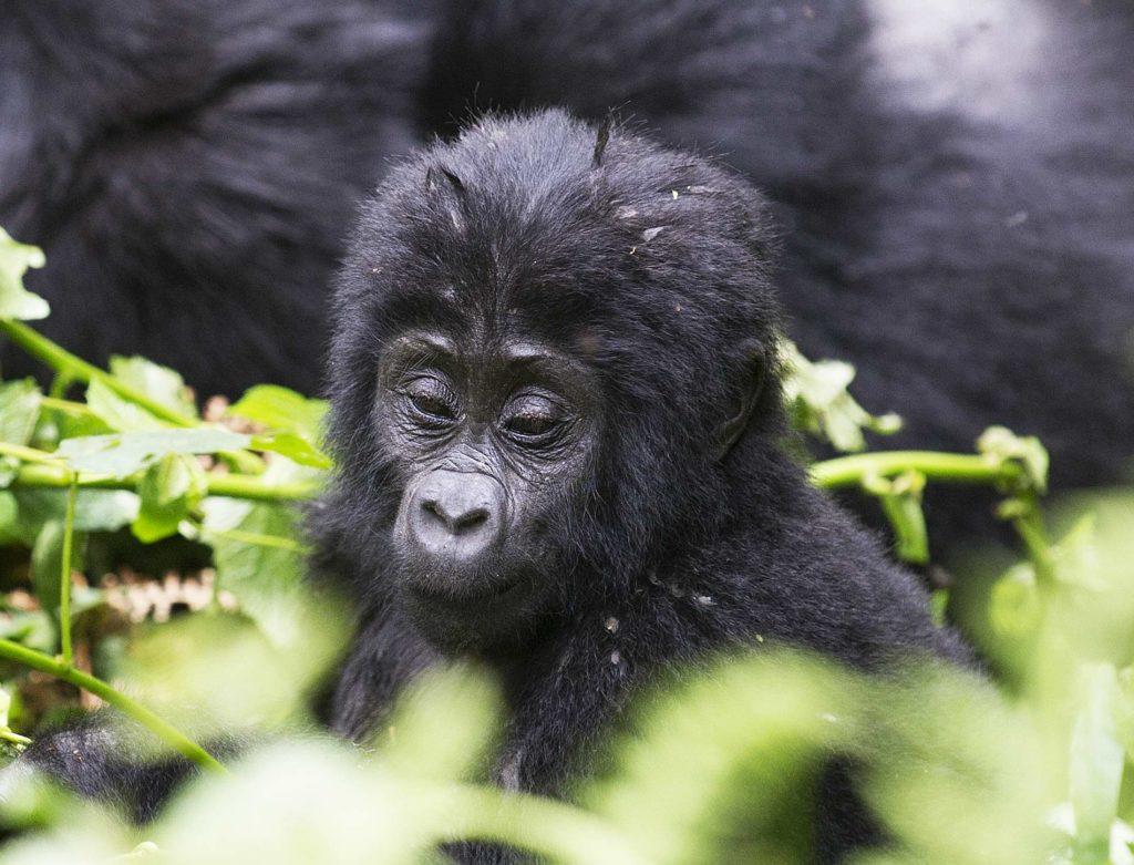 oeganda-bwindi-gorilla-baby