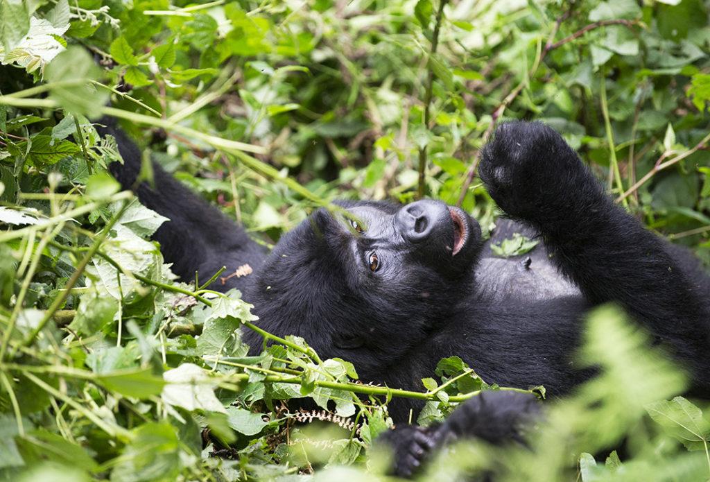 oeganda-bwindi-gorilla-eten