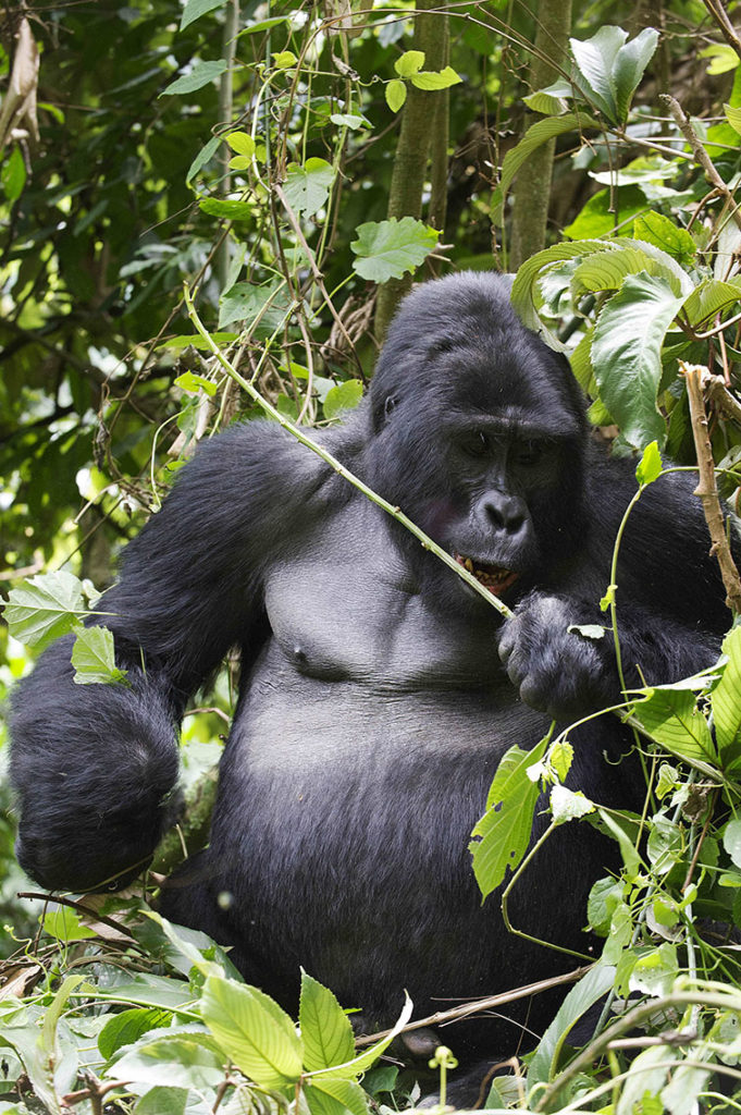 oeganda-bwindi-gorilla-zilverrug-eten