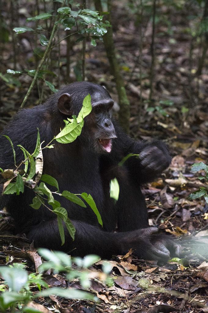 oeganda-kibale-chimpansee-eet