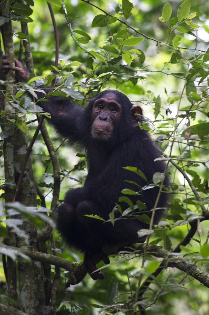 oeganda-kibale-chimpansee-uitkijk