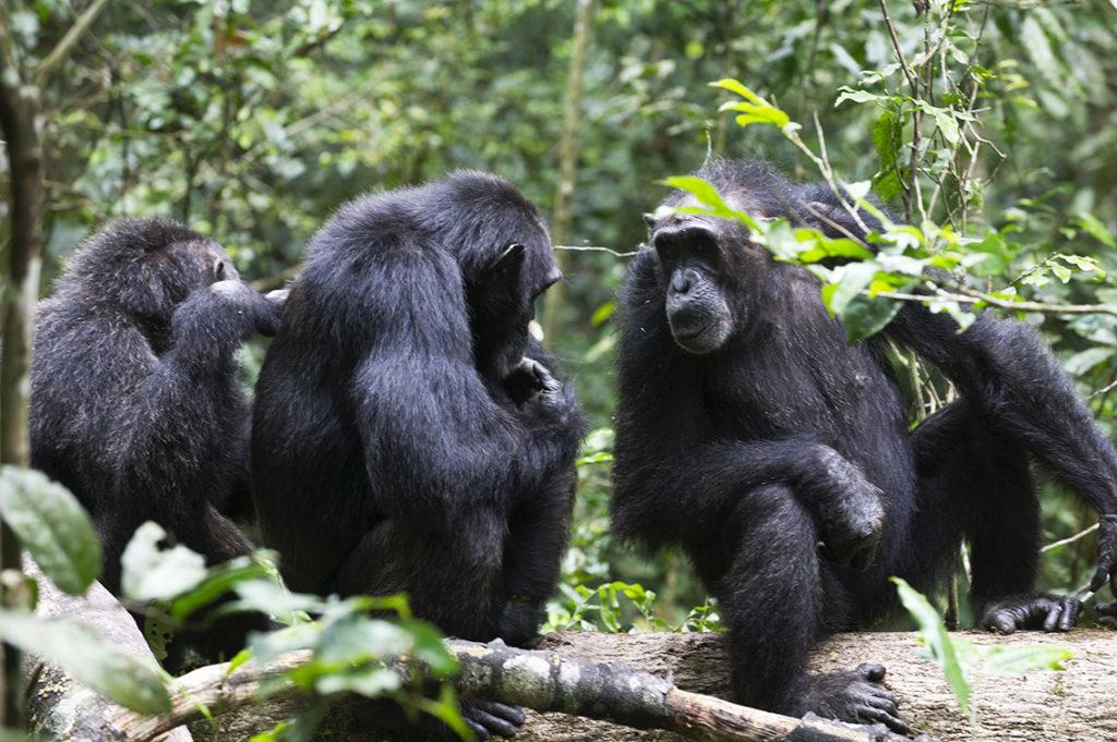 oeganda-kibale-chimpansees-vlooien