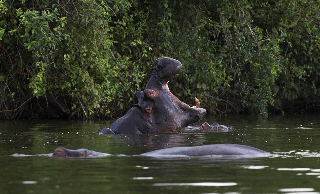 oeganda-lake-mburo-nijlpaard