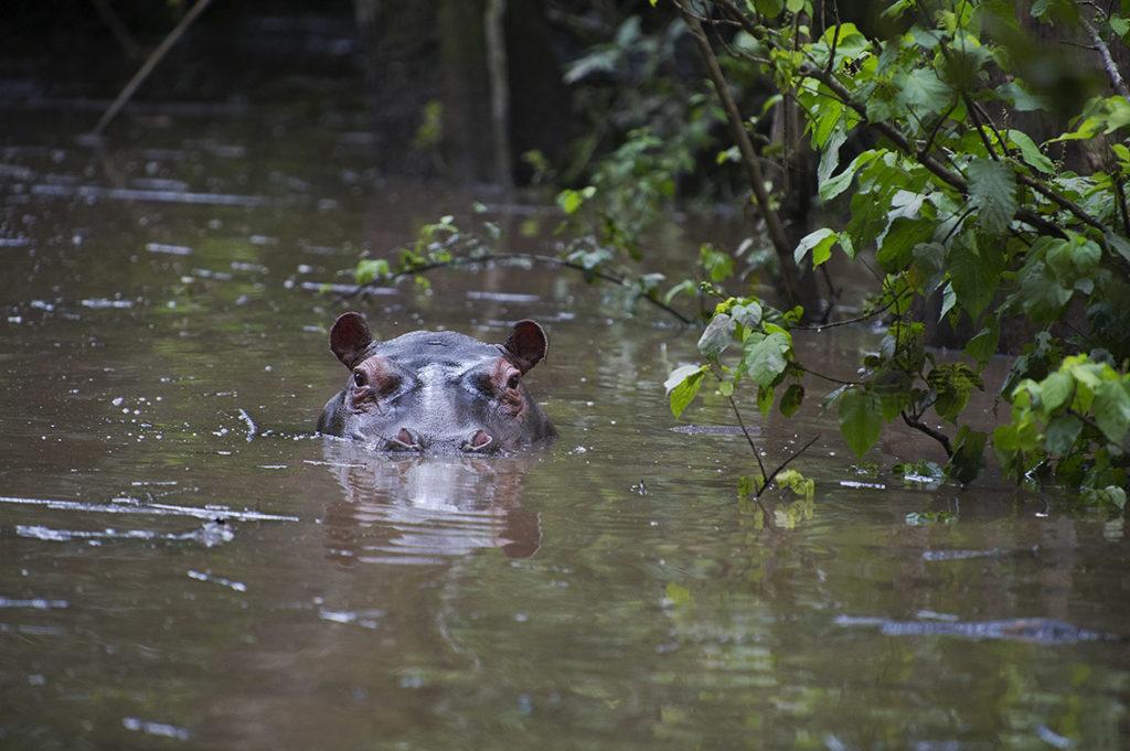 oeganda-murchison-falls-nijlpaard
