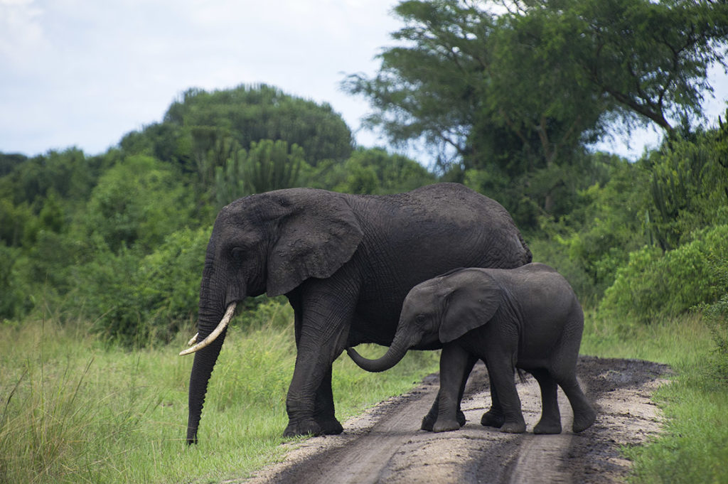 oeganda-murchison-falls-olifanten