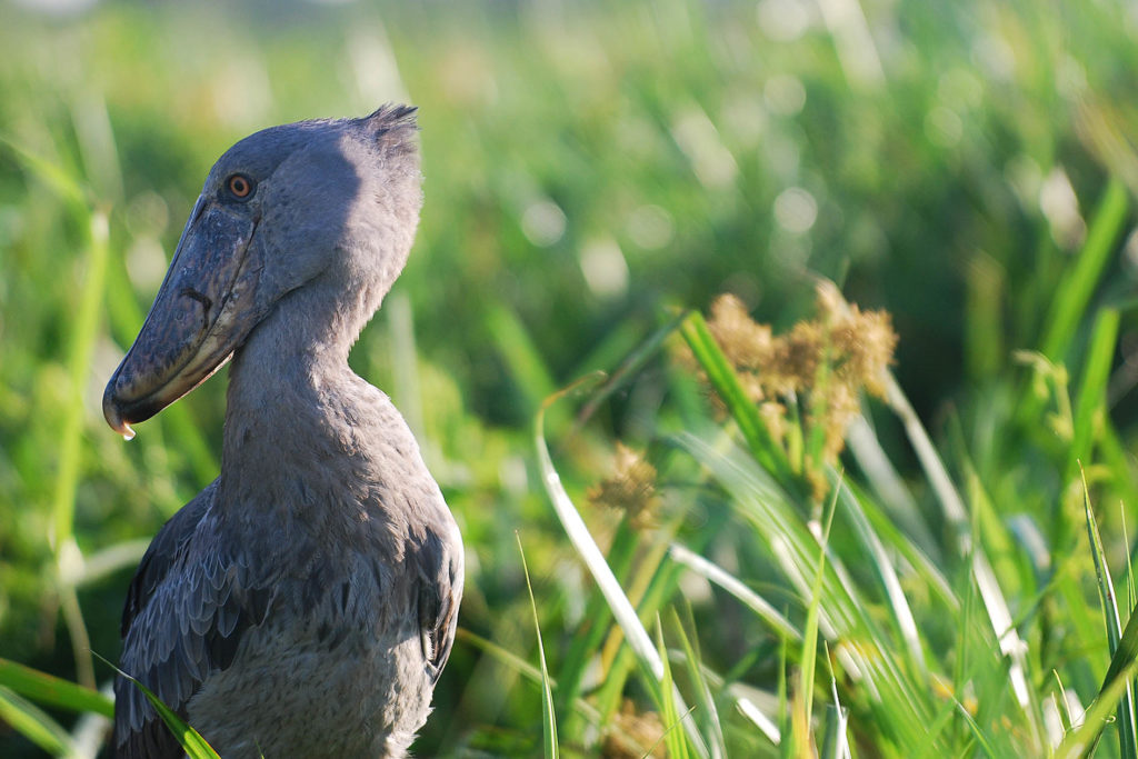 oeganda-murchison-falls-shoebill