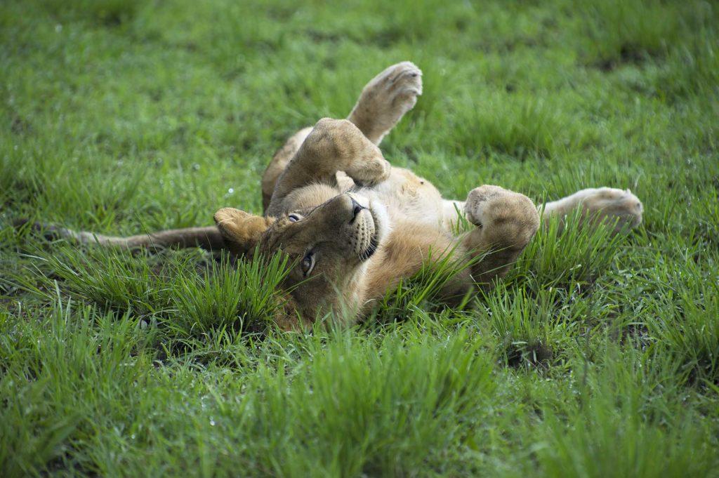 oeganda-queen-elizabeth-park-leeuwin-relax