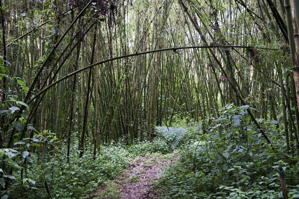 oeganda-rwenzori-bamboe