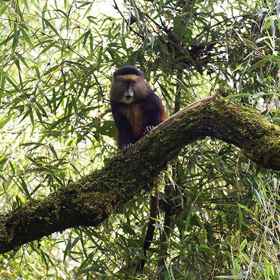 uganda-virungu-golden-monkey