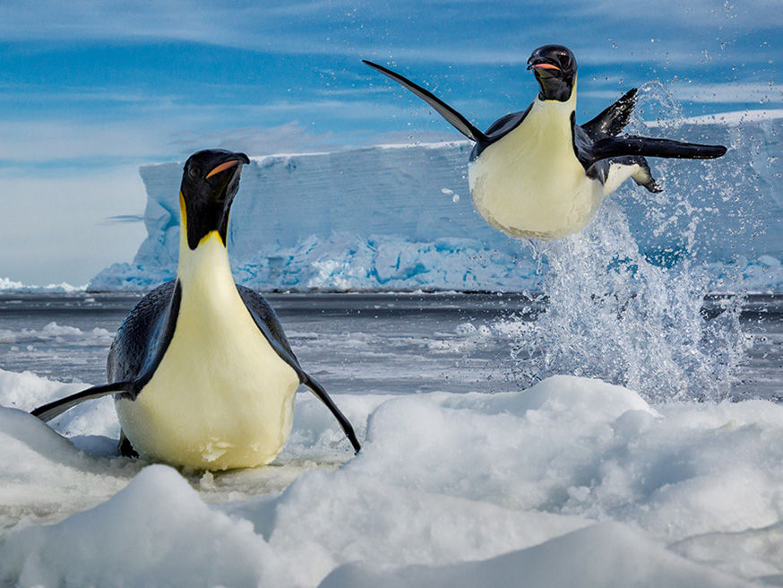 paul-nicklen-born-to-ice-teneus-keizer-puiguins-antartica