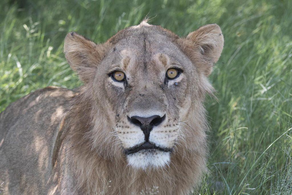 botswana-gamedrive-jonge-leeuw