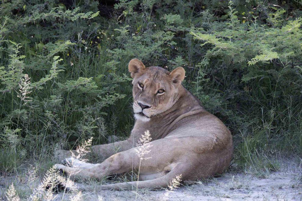 botswana-gamedrive-leeuwin