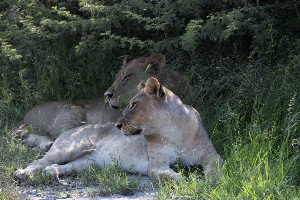 botswana-gamedrive-leeuwinnen