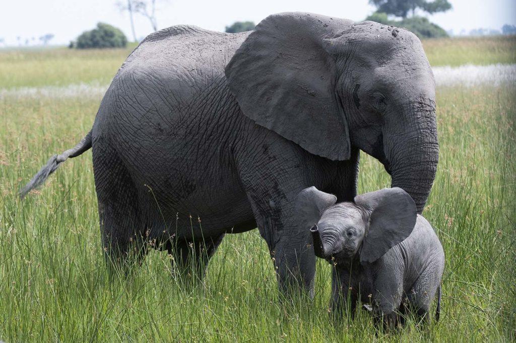 botswana-gamedrive-olifant-met-jong