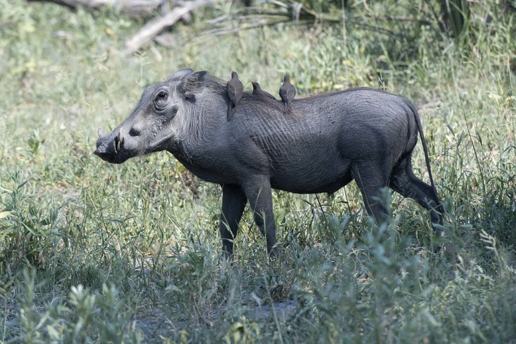 botswana-gamedrive-warthog