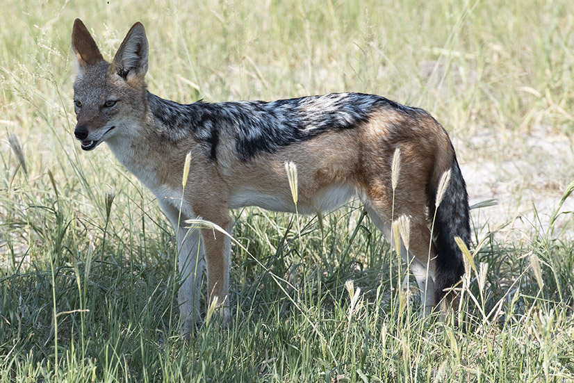 botswana-jakhals