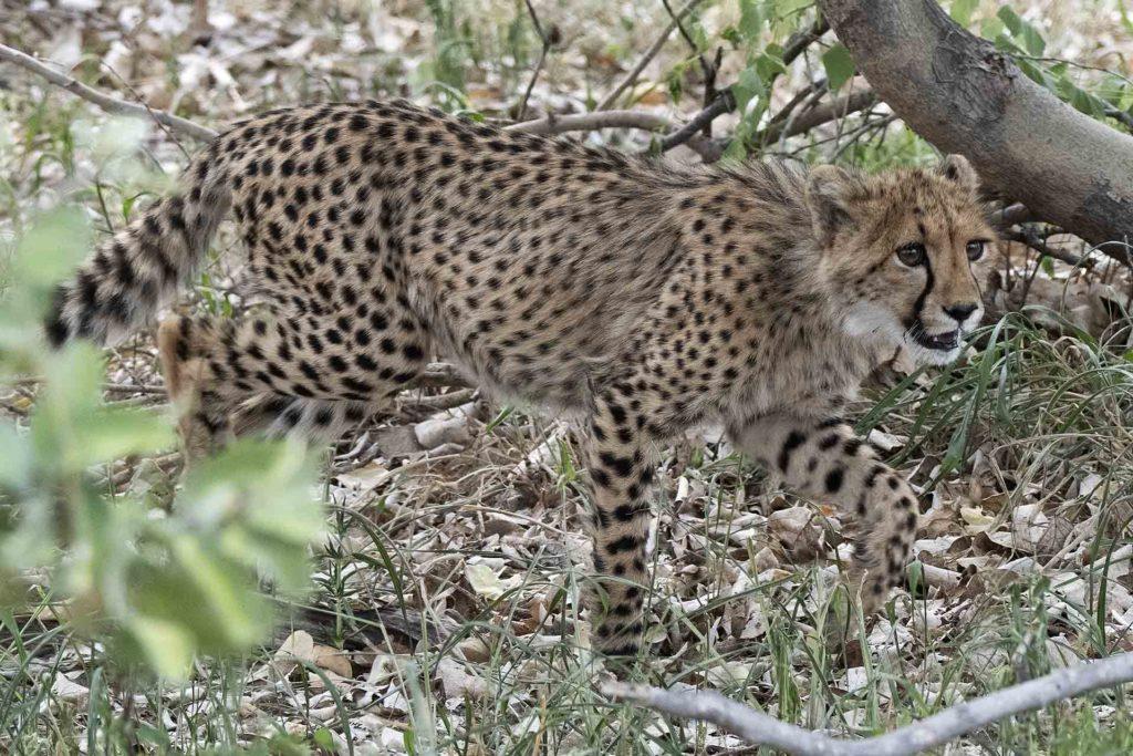 botswana-jonge-cheetah