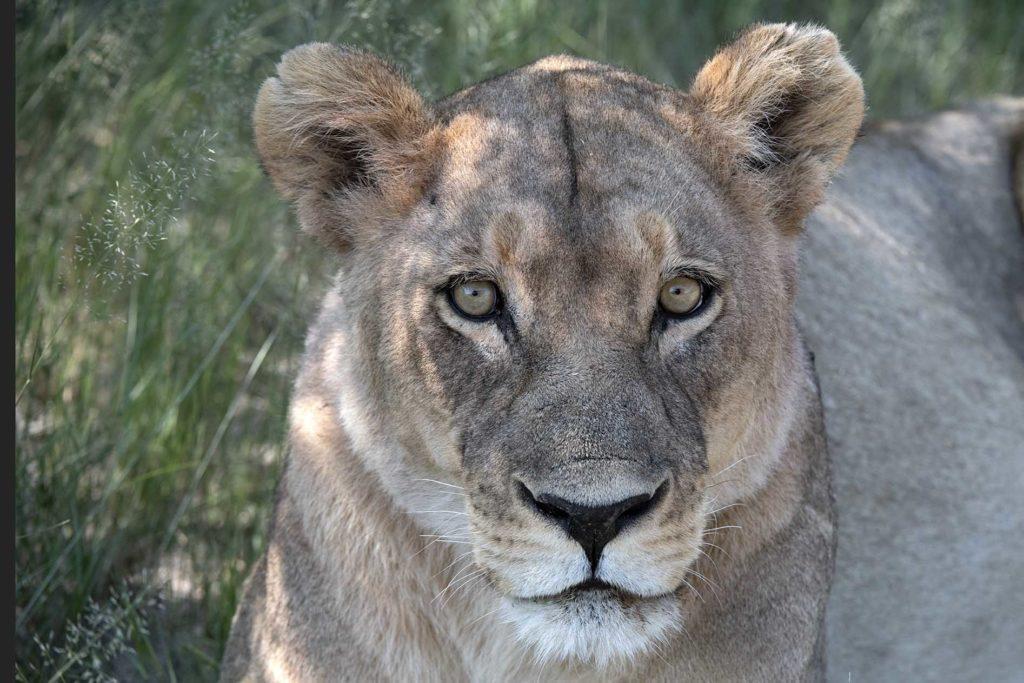 botswana-leeuwin