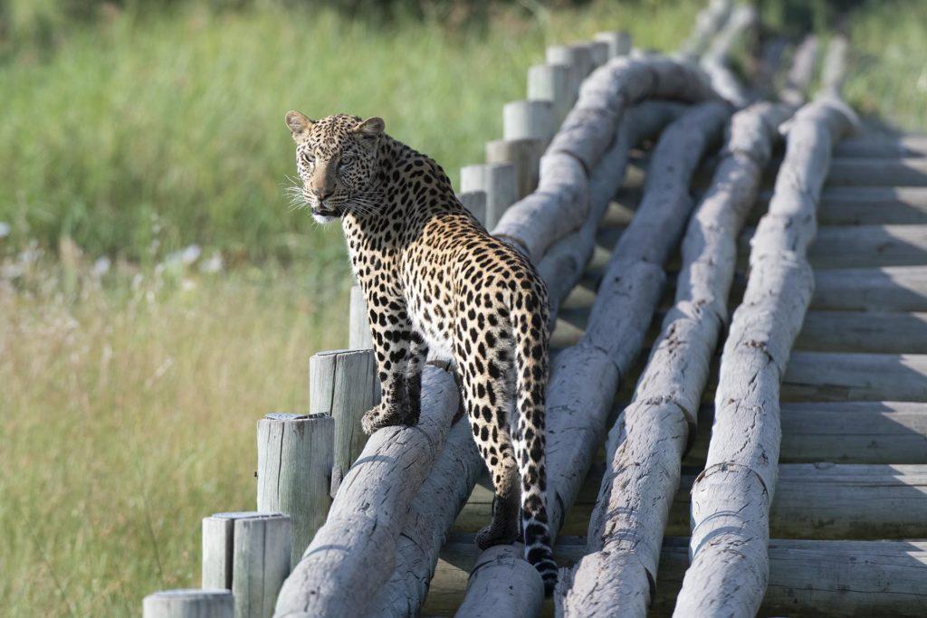 botswana-linyati-leopard-bridge