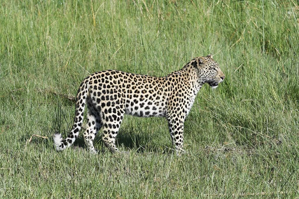 botswana-luipaard