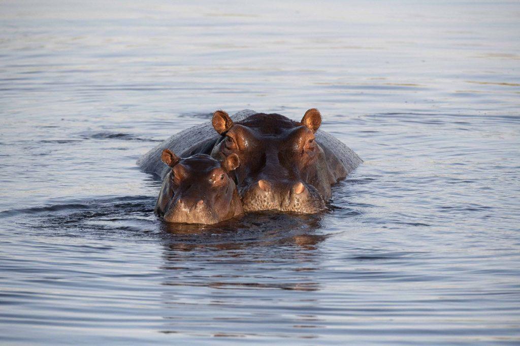 botswana-nijlpaarden
