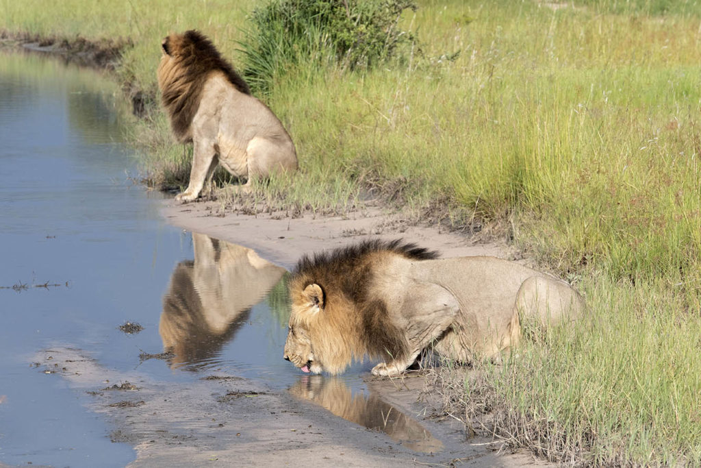 botswana-okavango-delta-leeuwen-drinken