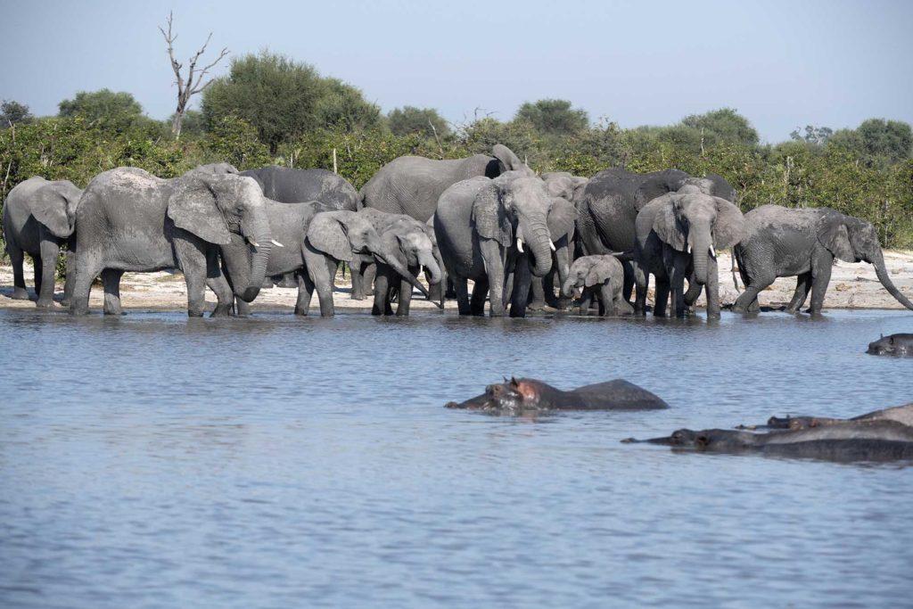 botswana-okavango-delta-olifanten-nijlpaarden-drinken