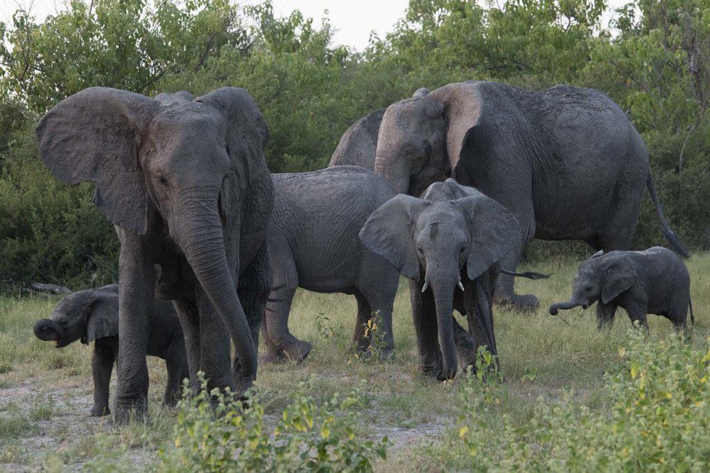 botswana-olifanten-passeren-gamedrive