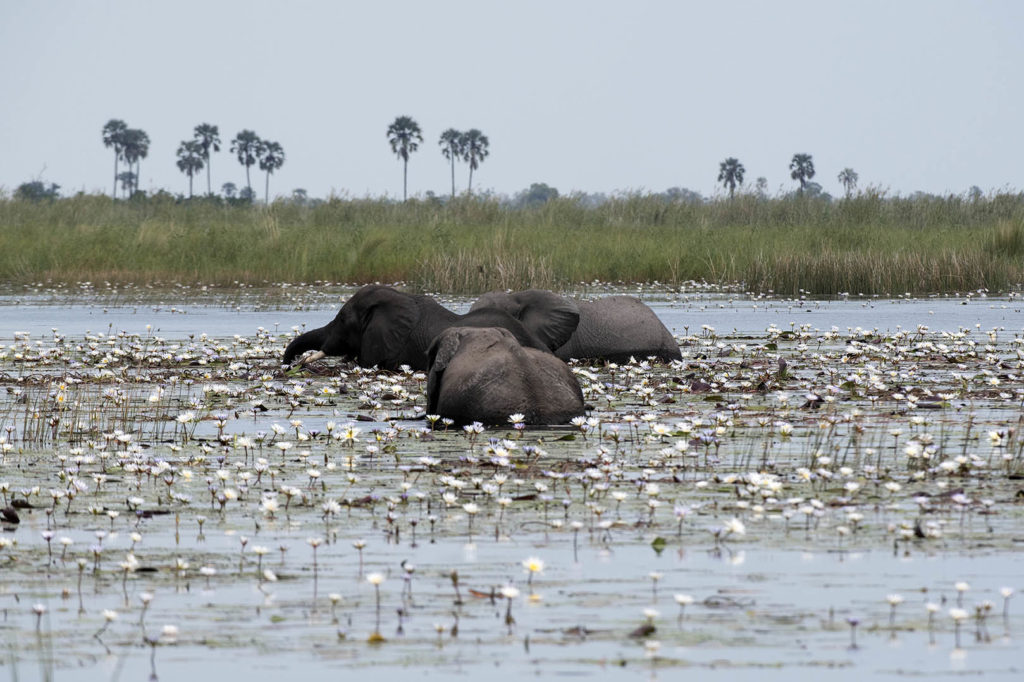 botswana-olifanten-zwemmen-waterlelies