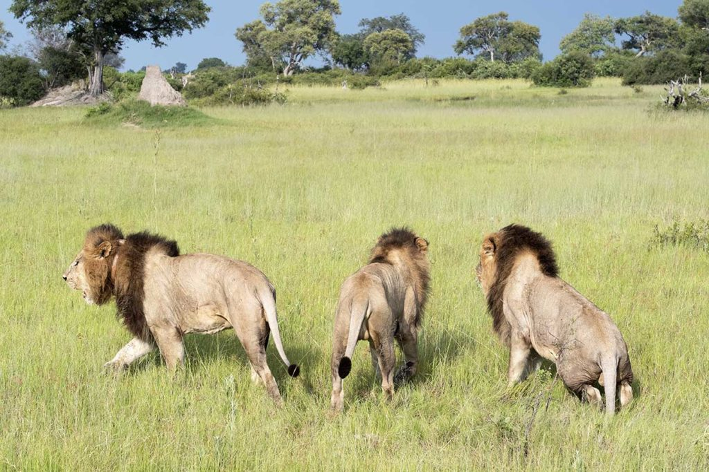 botswana-vumbura-plains-drie-broers