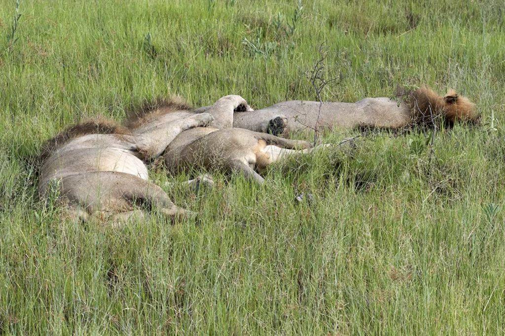 botswana-vumbura-plains-leeuwen-luieren