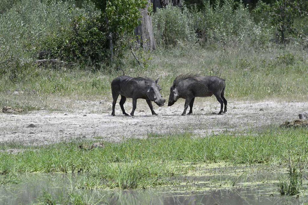 botswana-warthog's